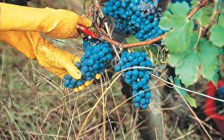 回味醇酒美食描绘葡萄园美景