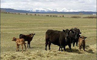 加拿大食品检验局今天表示,加拿大西部亚伯达省境内一头成年牛只,证实感染狂牛症,这是自二○○三年以来加拿大境内发现的第八起病例。(图片来源:法新社)