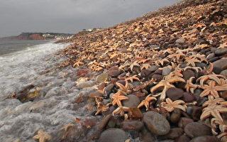 组图:几十万海星被冲上英国小镇