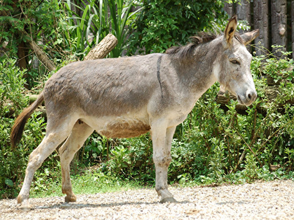 驴子 (摄影:王嘉益 / 大纪元)