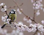 維也納的研究指出,雄藍山雀會因伴侶不再美麗,拉長在外蹓躂時間,也開始忽視自己的幼雀。(Dan Kitwood/Getty Images)