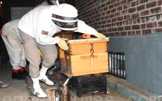 居民区养上百万蜜蜂 华裔男子挨罚