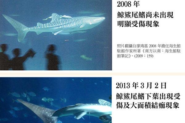 動保界公布海生館3尾保育動物鯨鯊狀況堪憂,1生死不明,1暴斃,1待野放,呼籲莫再抓小鯊;僅剩的小鯨鯊 6公尺長,現況(下圖)尾鰭因過擠不斷碰撞,傷擴大。(台灣動物社會研究會提供)