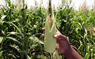 美媒:中国人为何窃取美国玉米种子?