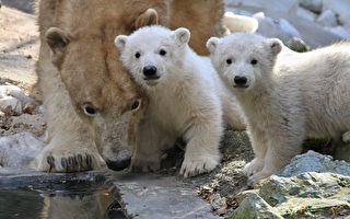 捷克布爾諾動物園的一對四個月大的雙胞胎北極熊寶寶和北極熊媽媽「科拉」(攝於2012年)。(RADEK MICA/AFP)