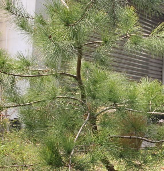 嘉大救地球,免費贈五葉松樹苖。(嘉義大學提供)