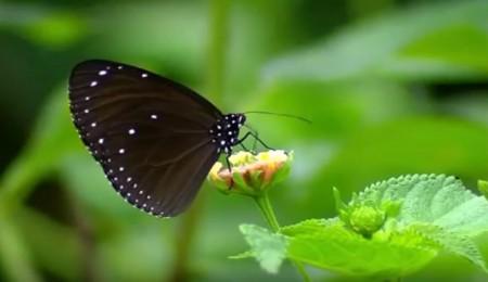 紫斑蝶羽翅上的图案就是奇妙天工杰作。(网路撷图/台湾行政院农委会)