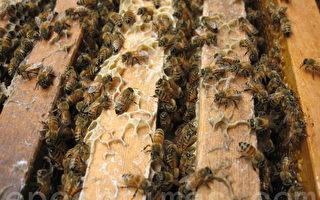 遭千隻蜜蜂攻擊 美23歲男子健行時遇難