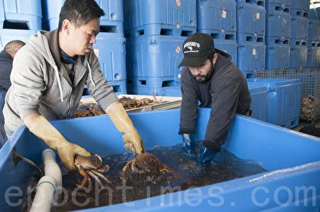 加州商業捕蟹季開鑼 新鮮螃蟹上餐桌