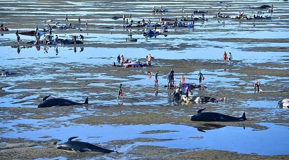 數百巨頭鯨擱淺新西蘭 救援緊張進行中