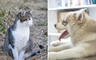 被哈士奇收养的小猫 长大后竟变成了这样
