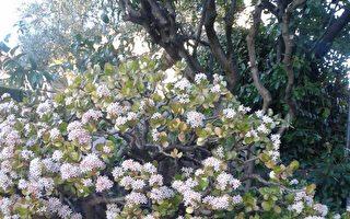 就像那燦然綻放的玉樹花,其生命的芳華來自上天的賦予和造就,是世俗間的任何力量都難以摧毀的。(作者提供)