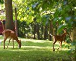 华盛顿特区附近的野生鹿。(MANDEL NGAN/Getty Images)