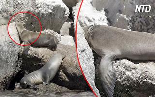 海獅受困礁石 他們看到後掏出一桿槍
