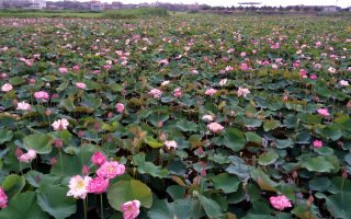金山清水農地友善牡丹蓮綻放 賞花買花趁現在