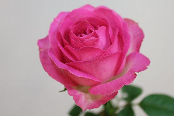 新玫瑰为七夕情人节添浪漫 交易量增数倍