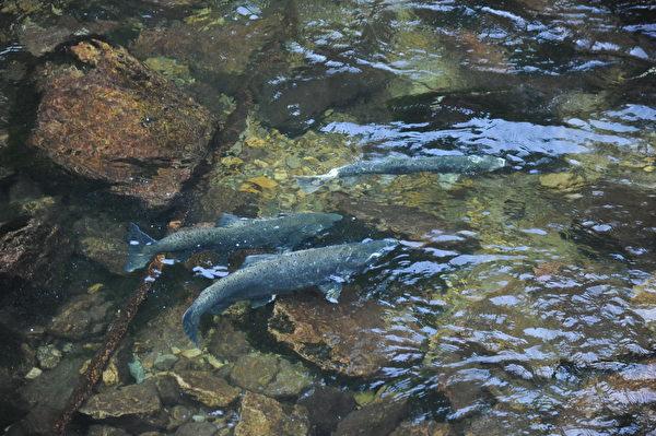 卡皮兰诺河中的三文鱼。