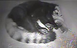 小熊貓媽媽產「龍鳳胎」 寶寶個性差異大
