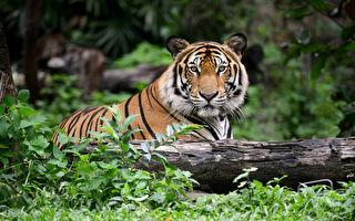 2年害13命 印度食人虎被射殺 誘餌竟是CK男士香水