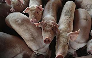 台湾猪肉出口澳门 下周起每周销200头