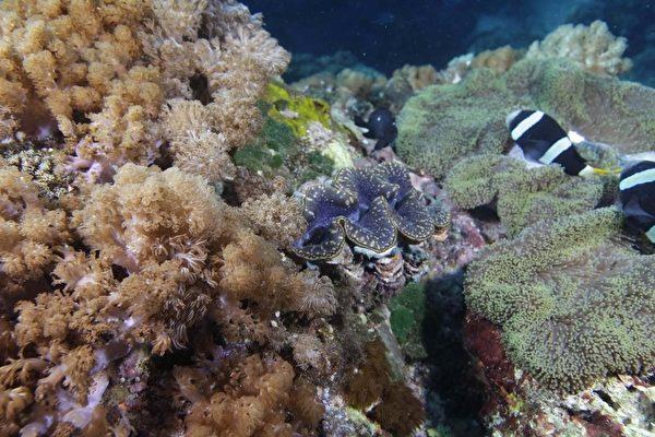 硨磲貝如花朵綻放光彩奪目 復育地落腳綠島