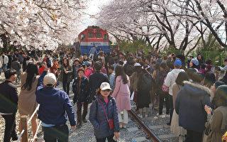 三十六萬株櫻花競放 韓國鎮海軍港慶典