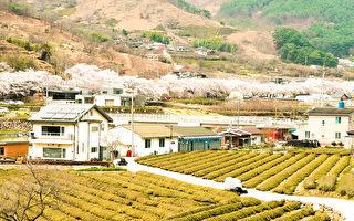 韓國河東舉行櫻花慶典