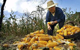 玉米价创4年来新高 连锁反应致饲料价高涨