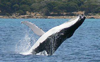 在西澳南岸奥尔巴尼邂逅野生鲸鱼