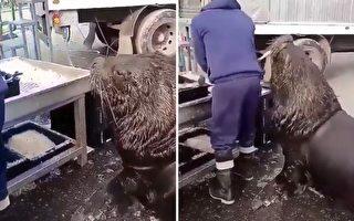 海獅和魚市工人的有趣互動吸引了攝像者在旁觀看,溫馨一幕全被錄入鏡頭。(Reddit:Tylers_Twin授權視頻截圖)