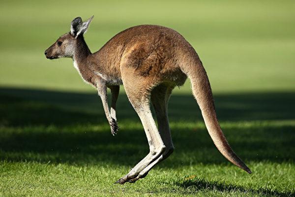 澳洲袋鼠打架 兩條後腿可騰空飛踢