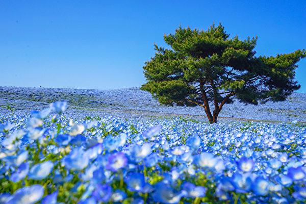 日本國家公園的粉蝶花盛開 形成藍色花海
