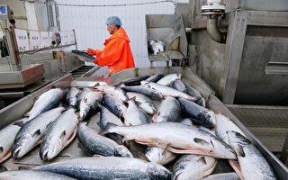 進口三文魚成傳染媒介?專家:不符合邏輯