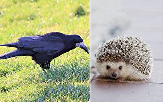 危险!刺猬慢吞吞 乌鸦带它过马路 网:想吃它?