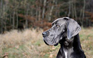 身高逾2米 世界最高小狗再创最长寿纪录