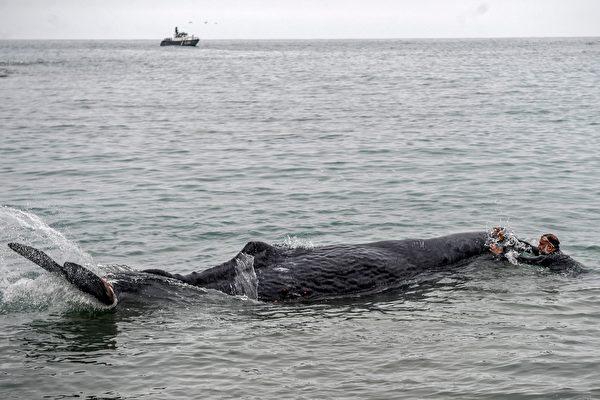 抹香鲸遭渔网缠住 潜水员花几天还割不完