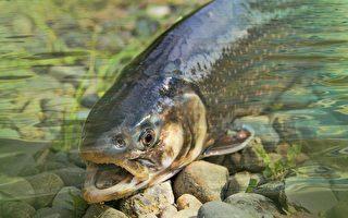 美加州出現前所未見的細菌 致6萬條魚死亡
