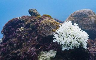 台湾珊瑚白化难复原 环团吁成立海洋保护区