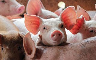 3千人染「人畜傳播」布魯氏菌病 當心3大傳染途徑