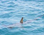 研究發現鯊魚利用地球磁場當「GPS」來遷徙