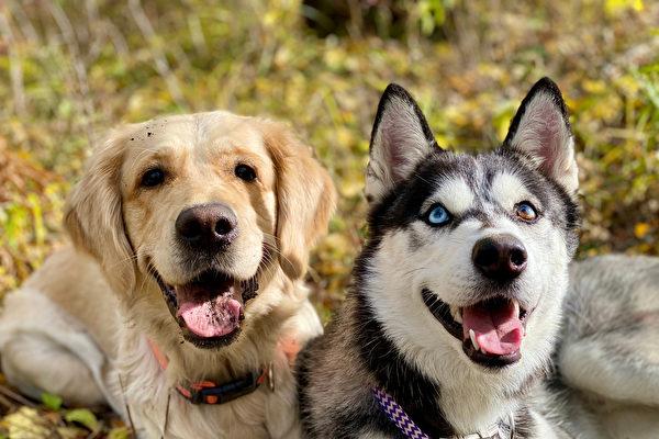 定力考驗:哈士奇和黃金獵犬誰會偷吃烤雞?