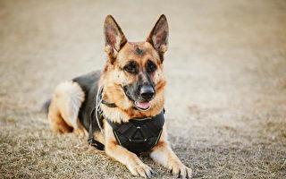 美警犬缉凶遭枪击 手术后出院 警察列队迎接