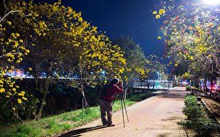 軍輝橋畔黃花風鈴木  越夜越美麗