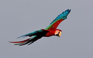 放飛金剛鸚鵡 經訓練自由翱翔於英倫