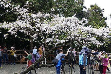 阿里山森林園區的櫻花樹一年年老去了,花況漸漸不若以往。
