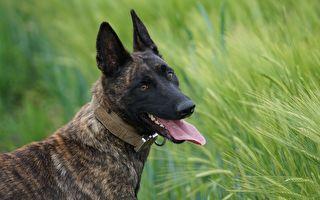警犬制服杀人嫌犯 佛州警方赞其一向忠勇