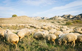 """英国羊群排成神秘的""""麦田圈"""" 令人费解"""